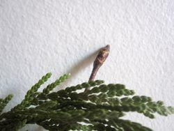 Budding twig1
