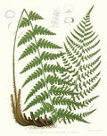 8005-Florida-Wood-Fern
